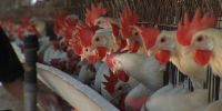 Fransa'da kuş gribi alarmı
