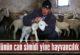 Köylünün can simidi  yine hayvancılık oldu
