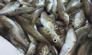 Balık fiyatı düştü tezgahlar şenlendi